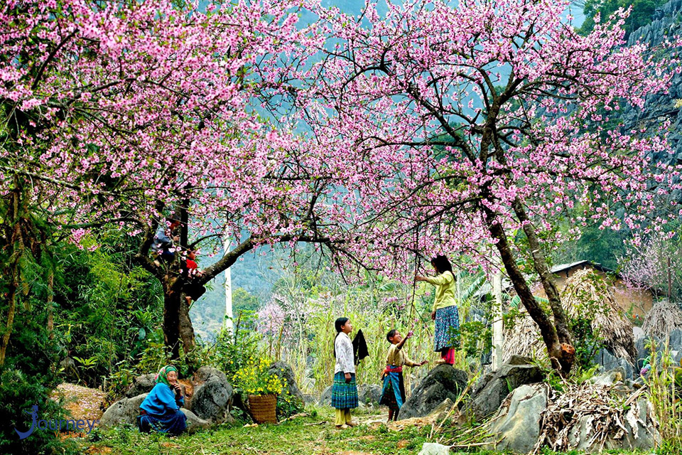 The Beautiful Cherry Blossom Island In Muong Phang