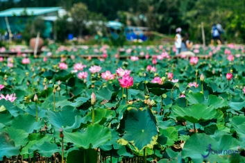Lotus Pond Beautiful As West Lake In Saigon